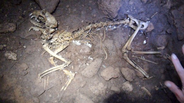 Cat skeleton in St Clair Cave